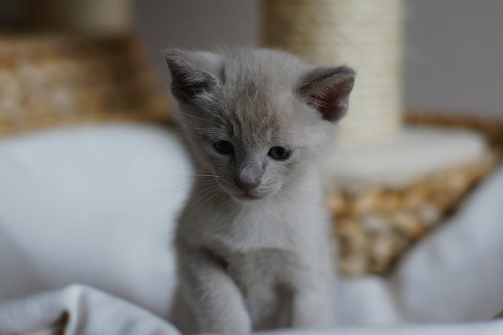 Irman kot rasowy