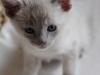 kotek tonkijski - patrzę