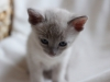 kotek tonkijski - chyba jestem głodna