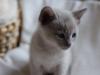 kotek tonkijski - może jednak nie