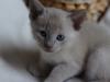 kotek tonkijski - coś się dzieje