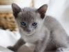 kotek tonkijski - co jest?
