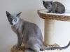 koty tonkijskie - ja i mama
