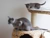 koty tonkijskie - tak jak mama