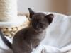 kotek tonkijski - Ifigenia - widzę cię