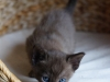 kotek tonkijski - Ifigenia - przyczajenie