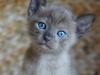 kotek tonkijski - Ifigenia - wielkie oczy
