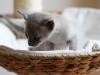 kotek tonkijski - coś tam jest