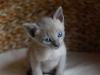 kotek tonkijski - jakieś koty tam są