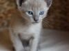 kotek tonkijski - idę stąd