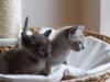 koty tonkijskie - we dwoje raźniej
