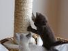 koty tonkijskie - może do góry