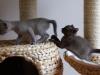koty tonkijskie - prowadź