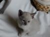 kotek tonkijski - to tylko siostra