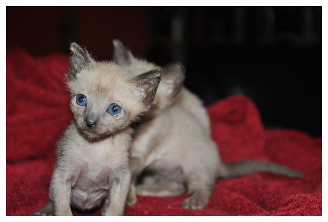 koty-tonkijskie-03