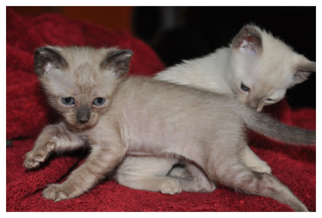 koty-tonkijskie-05