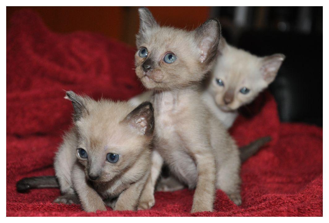 koty-tonkijskie-06