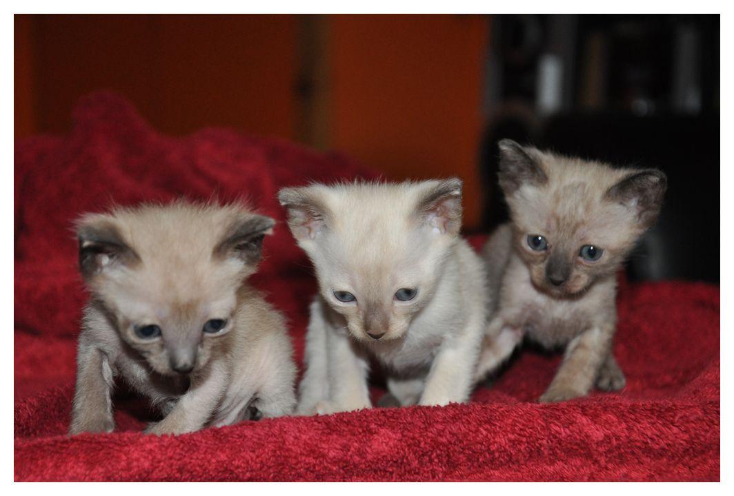 koty-tonkijskie-08
