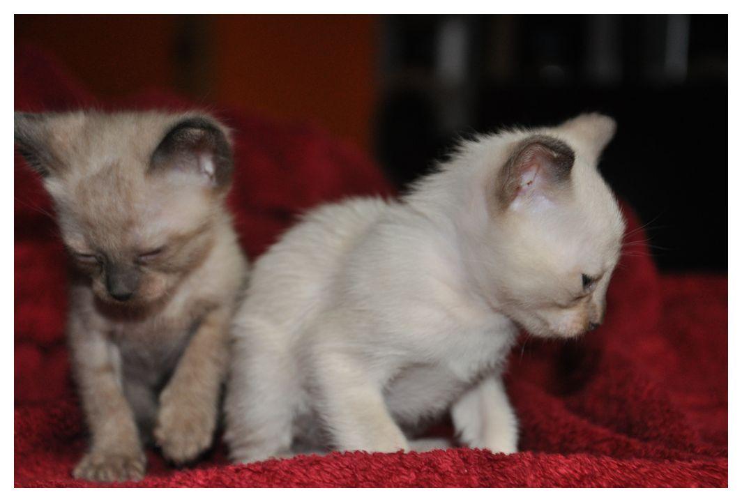 koty-tonkijskie-09