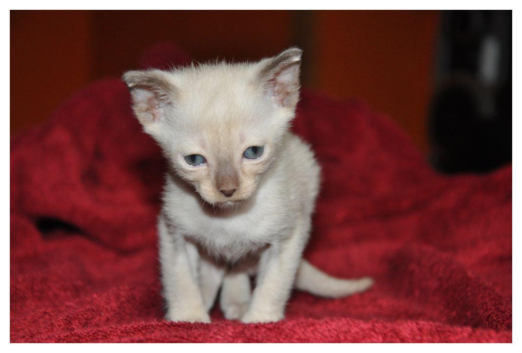 koty-tonkijskie-12