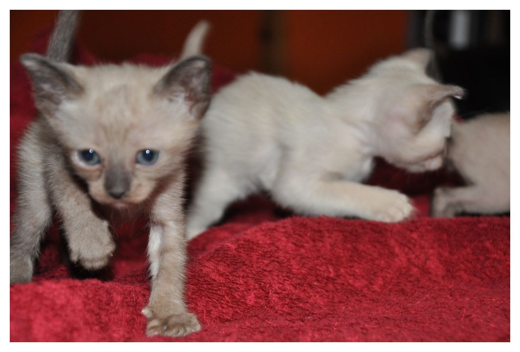 koty-tonkijskie-16