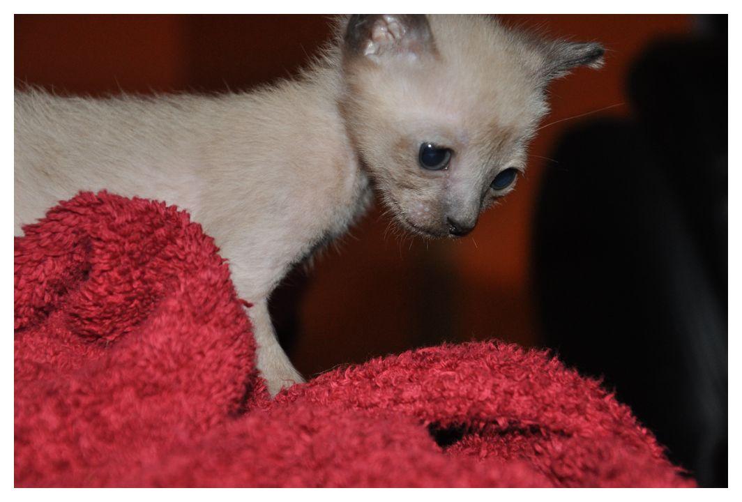koty-tonkijskie-20