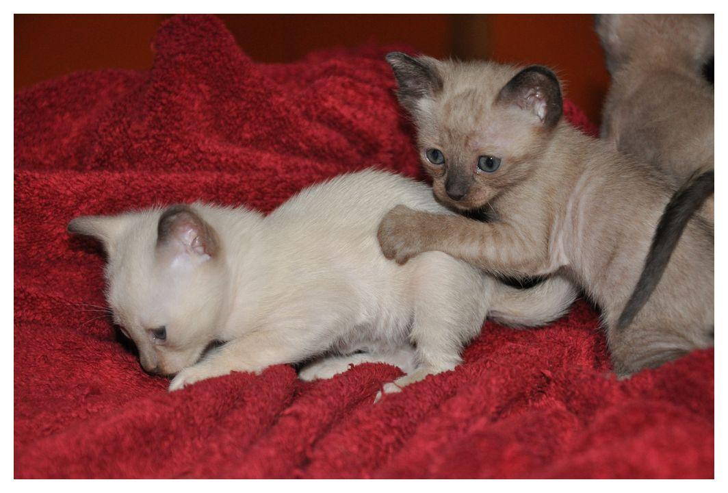 koty-tonkijskie-21
