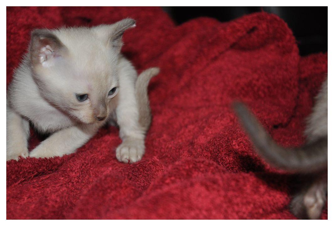 koty-tonkijskie-22