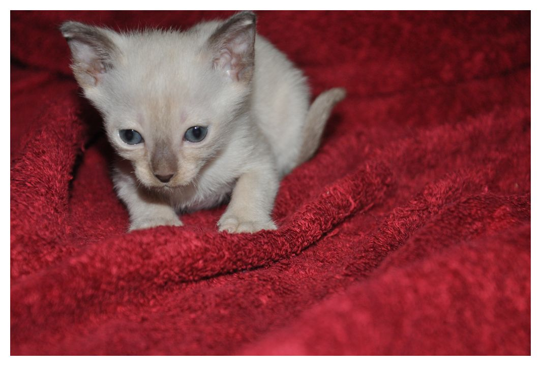 koty-tonkijskie-23