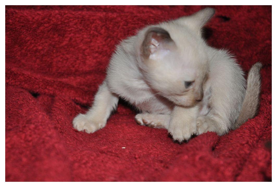 koty-tonkijskie-24