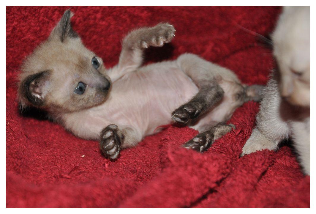 koty-tonkijskie-26
