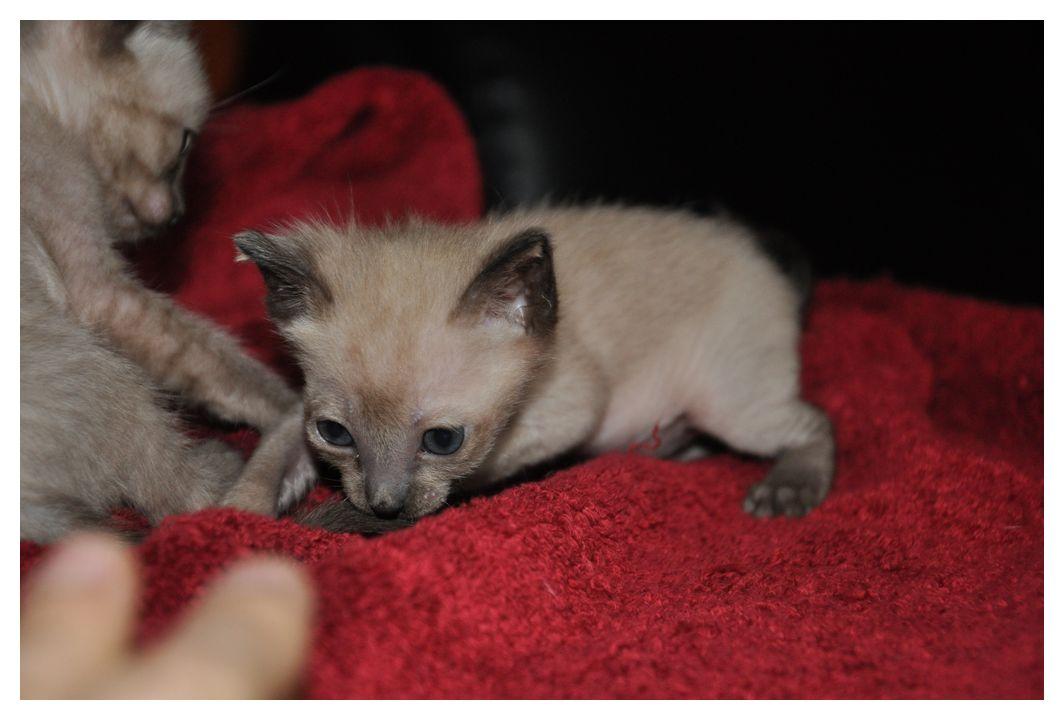 koty-tonkijskie-29