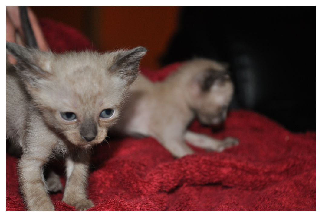 koty-tonkijskie-30
