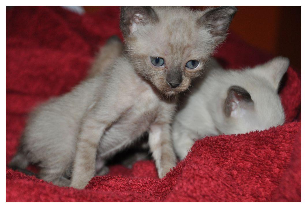 koty-tonkijskie-33
