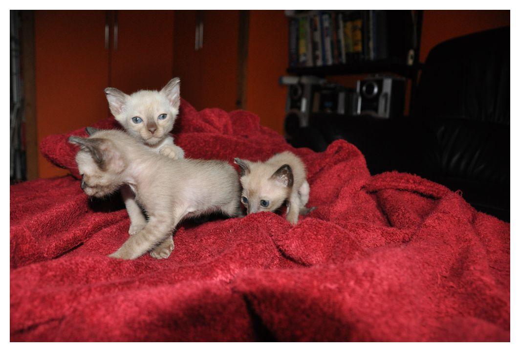 koty-tonkijskie-37