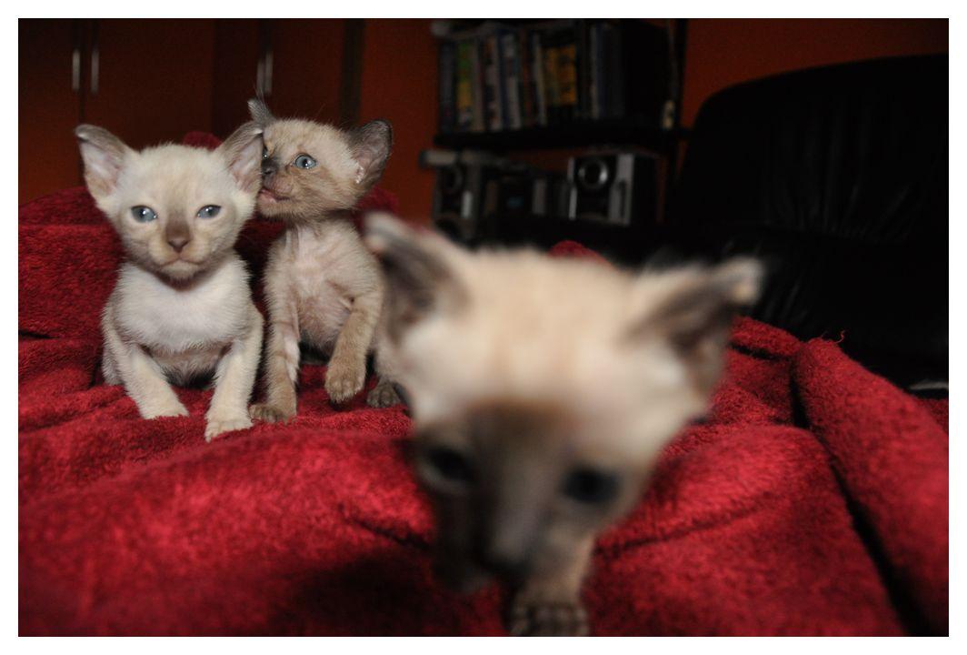 koty-tonkijskie-38