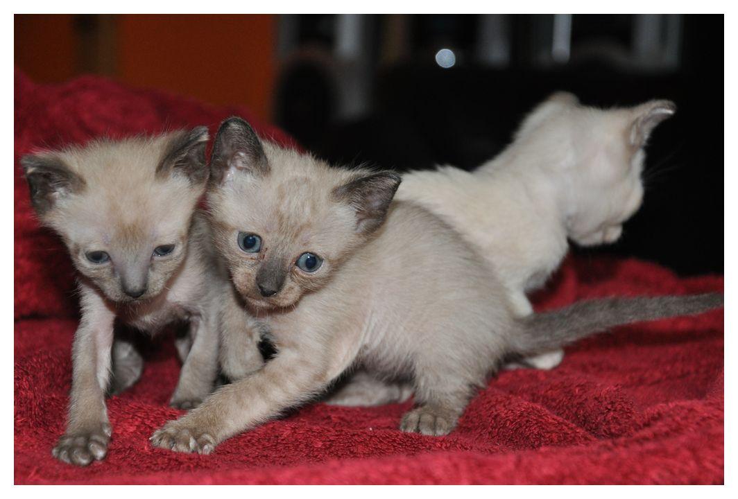 koty-tonkijskie-41