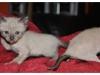 koty-tonkijskie-01