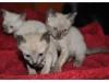 koty-tonkijskie-02