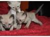 koty-tonkijskie-07