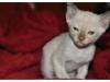 koty-tonkijskie-10