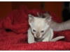 koty-tonkijskie-11