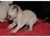 koty-tonkijskie-13