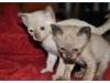koty-tonkijskie-14