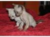 koty-tonkijskie-15
