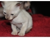 koty-tonkijskie-17