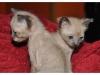 koty-tonkijskie-18