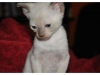 koty-tonkijskie-19