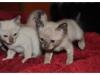 koty-tonkijskie-25