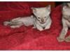 koty-tonkijskie-27